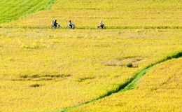Farmers go to work by bicycle on the field Royalty Free Stock Photos