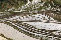 Farmers grow rice in old way Royalty Free Stock Image