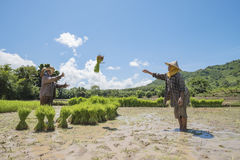 Farmers. Grow rice in the rainy season,asian  grow rice in the rice field,They were soaked with water and mud to be prepared for planting,Rice field in Thailand Stock Photography