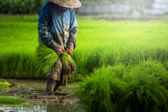Farmers grow rice in the rainy season. They were soaked with wat Stock Photos