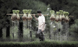Farmers grow rice in the rainy season Stock Photography