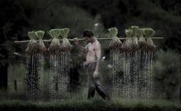 Farmers grow rice in the rainy season. Royalty Free Stock Image