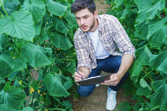 Farmers are growing and harvesting vegetables. Young farmers are grown and harvested organic vegetables Stock Images