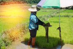 Farmers are growing rice tree Royalty Free Stock Image