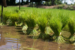 Farmers are growing rice tree Stock Photography