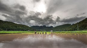 Farmers growing the rice under cloudy sky Stock Photography