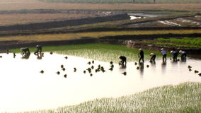 Farmers grown rice in the field. Rice cultivation is a long tradition of people in rural Vietnam stock video