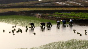 Farmers grown rice in the field. Rice cultivation is a long tradition of people in rural Vietnam stock footage
