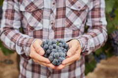 Farmers hand with blue grapes Royalty Free Stock Images