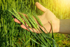 Farmers hand holding wheat ears Stock Images