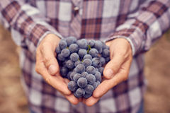 Farmers hands with blue grapes Stock Image