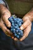 Farmers hands with cluster of grapes Royalty Free Stock Images