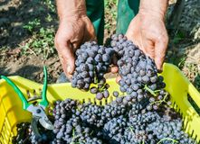 Farmers hands with freshly harvested grape production Royalty Free Stock Photos
