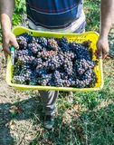 Farmers hands with freshly harvested grape production Royalty Free Stock Image