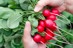 Farmers hands with freshly harvested radish. On a background of planted radish. Shallow depth of field Royalty Free Stock Photos
