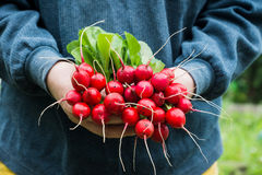 Farmers hands with freshly harvested radish. Shallow depth of field Royalty Free Stock Photography