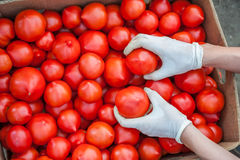 Farmers hands with freshly harvested tomatoes Stock Photography