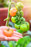 Farmers hands with freshly harvested tomatoes with tomatoes tree background. Royalty Free Stock Photo