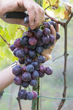 Farmers hands with garden secateurs and freshly blue grapes at harvest, Chianti Region, Tuscany, Italy.  Stock Photos