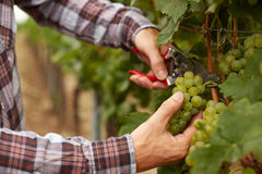 Farmers hands holding garden secateurs and with freshly The farmer during the harvest grapes. Farmers hands holding garden secateurs and with freshly harvested Stock Photo