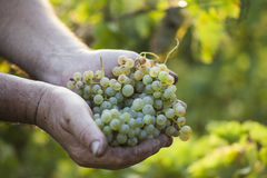 Farmers hands holding harvested grapes Stock Image