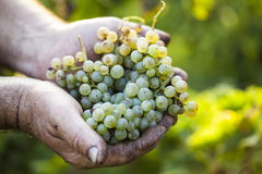 Farmers hands holding harvested grapes Stock Photos