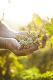 Farmers hands holding harvested grapes Royalty Free Stock Photography