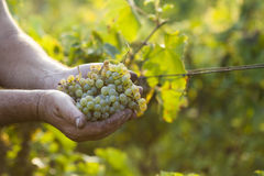 Farmers hands holding harvested grapes Stock Photography