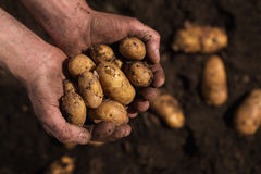 Farmers hands holding potatoes Stock Photography