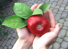 Farmers hands with red apple, organic fruit Stock Photo