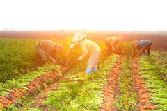 Farmers harvest carrots on field Royalty Free Stock Photo