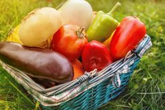 The farmers harvest different vegetables in late summer in the organic garden. Healthy, sustainable food. Autumn. Royalty Free Stock Image