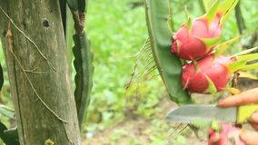 Farmers harvest dragon fruit. The Farmers harvest dragon fruit stock video