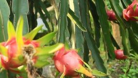 Farmers harvest dragon fruit. The Farmers harvest dragon fruit stock footage
