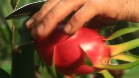 Farmers harvest dragon fruit. The Farmers harvest dragon fruit stock video footage