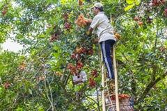 Farmers harvest fruit Rambutan in mekong delta Royalty Free Stock Images