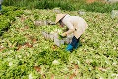 Farmers harvest lettuce Stock Images