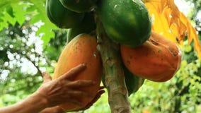 Farmers harvest papaya fruit. The Farmers harvest papaya fruit stock footage