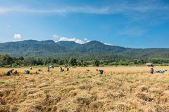 Farmers harvest rice. Royalty Free Stock Photography