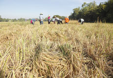 Farmers  harvest rice in field Stock Photography