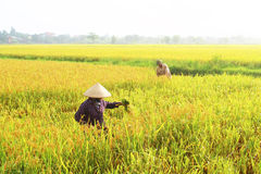 Farmers harvest rice in a field Royalty Free Stock Image