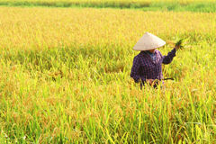 Farmers harvest rice in a field Stock Image