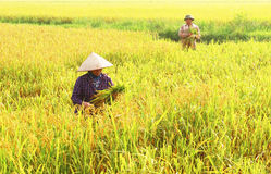 Farmers harvest rice in a field Royalty Free Stock Photo