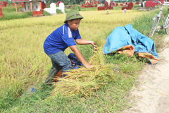 Farmers harvest rice in a field Stock Photography