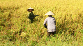 Farmers harvest rice in a field Royalty Free Stock Images