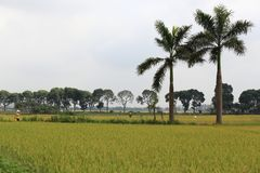 Rice field in the harvest season stock image