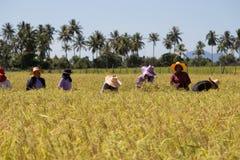 Farmers harvest rice at Koh-Sukorn Island rice field Stock Photos