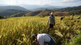 Farmers harvest rice. stock video footage