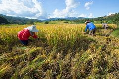 Farmers harvest their crops sharply during the harvest season in. Chiang Mai, Thailand: Farmers harvest their crops sharply during the harvest season in the rice Stock Photos