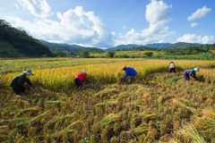 Farmers harvest their crops sharply during the harvest season in. Chiang Mai, Thailand: Farmers harvest their crops sharply during the harvest season in the rice Royalty Free Stock Photography